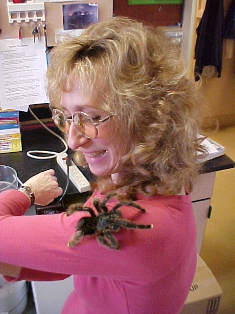 A pinktoe tarantula looks over Sys shoulder: credit Sam Marshall