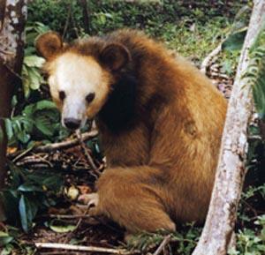Golden Moon Bear