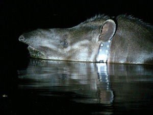 A Tapir Named Sy Montgomery