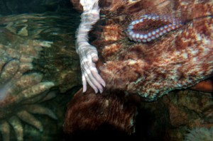 Sy strokes Karma, a giant Pacific octopus. Photo © by Tianne Strombeck