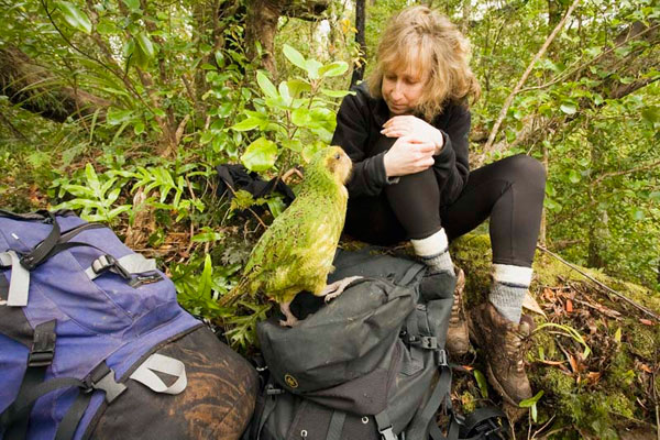 A rare visit from Sinbad, a wild kakapo—a critically endangered, nocturnal, flightless parrot—on New Zealand's Codfish Island: credit Nic Bishop